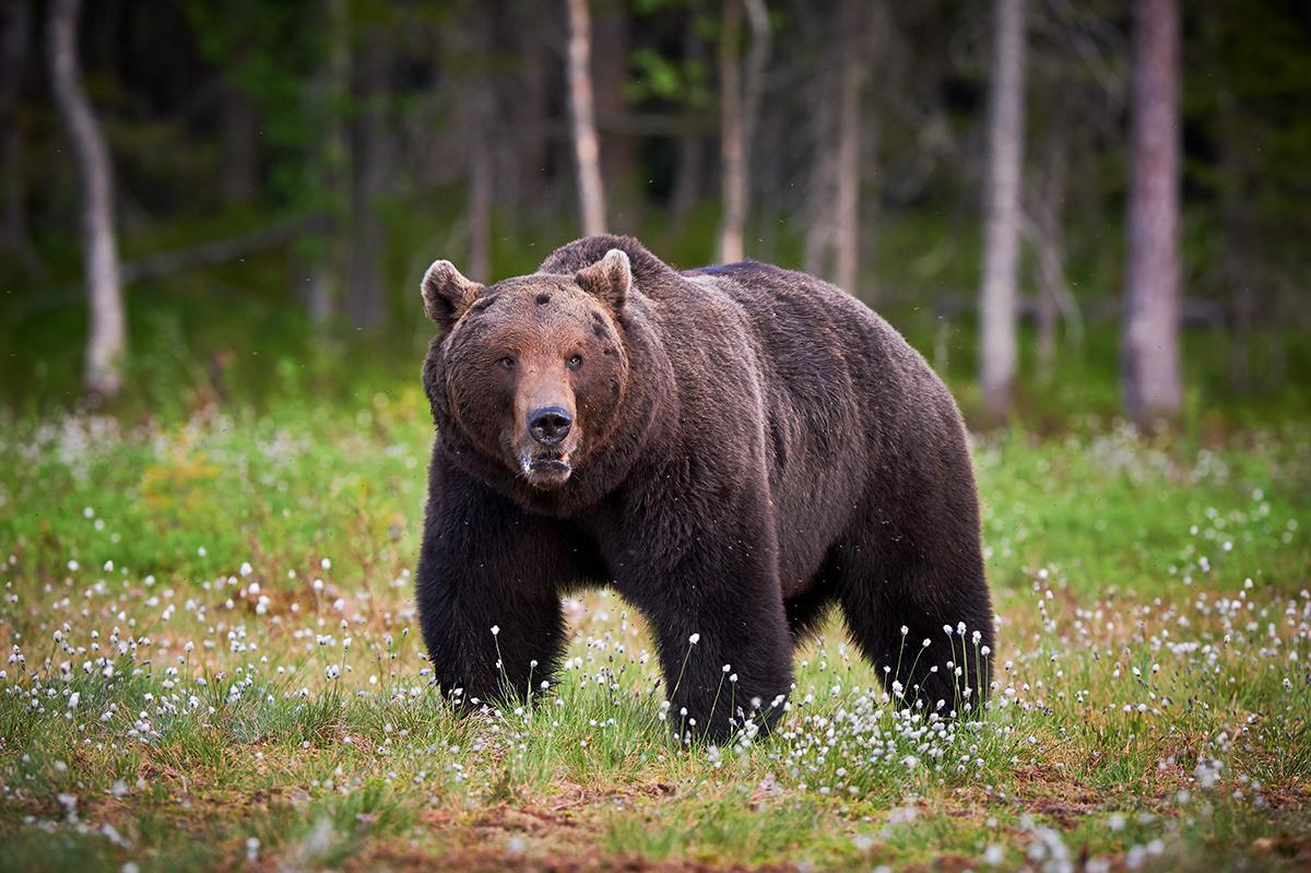Niedźwiedź w lesie